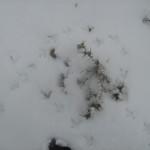 עקבות בשלג