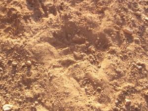 אמבטית חול של חגלה עם העקבות בפנים