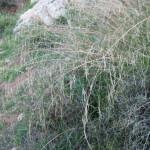 נשרן הדוחן-זרעים אכילים חיים