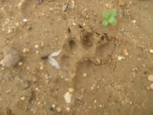 חתול (צפורניים נראות,כנראה בשל תנועה מהירה בבוץ)
