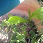חסת המצפן-עלים צעירים אכילים חיים