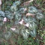 רקפת-פקעת רעילה! עלים רעילים! העלים אכילים רק לאחר בישול. הפרחים ועוקציהם אכילים חיים.(צמח מוגן)