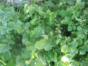 חרדל לבן-כל חלקי הצמח אכילים חיים,(חריף)