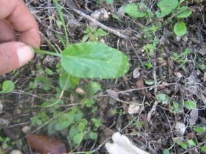 חרחבינה מכחילה-עלים ושורשים אכילים חיים