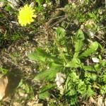 כתמה-עלים ושורשים אכילים חיים