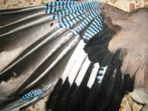 כנף עורבני